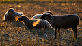 Auch die Schafe in der niedersächsischen Heide sollen bald Netz bekommen, wenn die Pläne der Landesregierung funktionieren sollten.